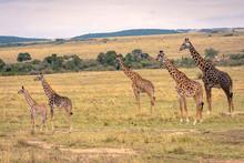 A Giraffe Family With Five Mem...