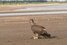 Immature Bald Eagle Feeding On Dead Salmon On Tidal Flats;  Alaska