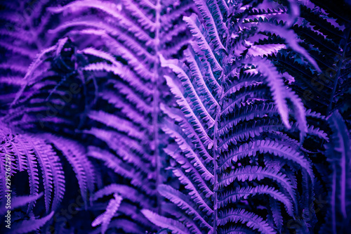 Ultra violet moody color nature background trend. Tropical leaves of fern plant