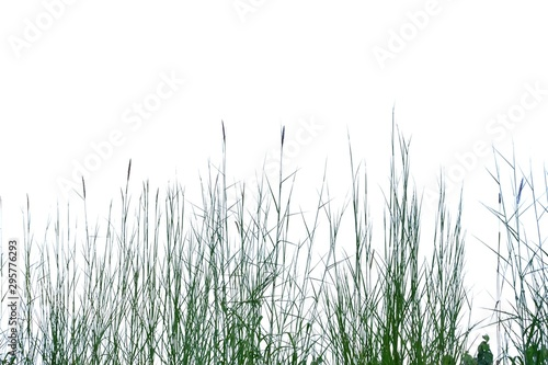 Photo sur Toile Herbe Wild grass with leaves and flower blossom growing in field on white isolated background for green foliage backdrop in a field