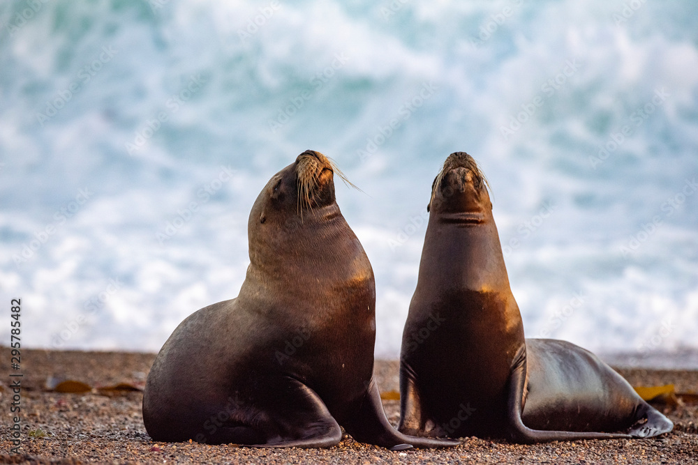 Fototapeta sea lion on the beach in Patagonia