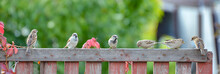 Sparrows Are Sitting On A Wooden Fence, Close-up.