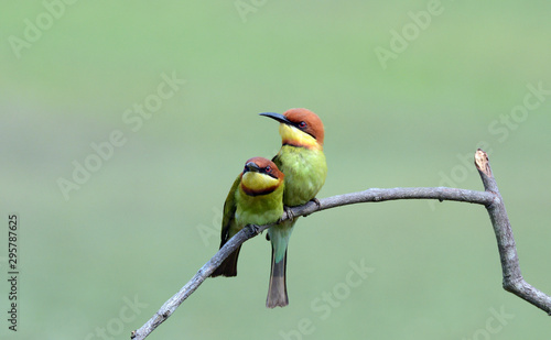 Green, Orange Bird, Chestnut headed Bee-eater on a branch in nature Wallpaper Mural