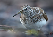 Mature Green Sandpiper Curiously Looks Into The Camera From Very Close Portrait Distance