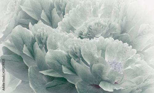 Fond de hotte en verre imprimé Fleur Floral halftone light turquoise background. Flowers and petals of a light turquoise peonies close up. Nature.