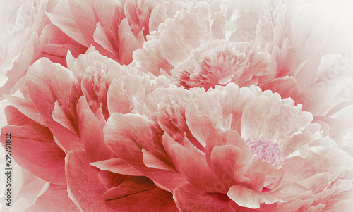 Floral halftone light red background. Flowers and petals of a light red peonies close up. Nature. - 295791882
