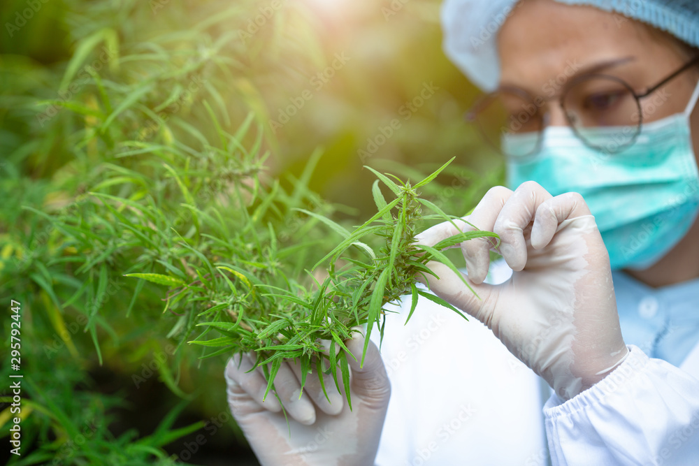 Fototapety, obrazy: Portrait of scientist with mask checking hemp plants in a greenhouse. Concept of herbal alternative medicine, CBD cannabis oil.