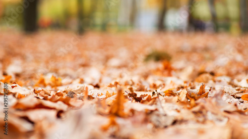 Foto op Aluminium Herfst Park fall trees with fallen lush foliage covering the ground. Background texture of yellow leaves autumn leaf background