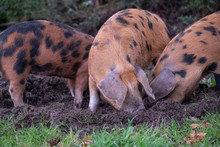 Oxford Sandy And Black Pigs Eating Acorns In The New Forest UK. The Tradition Of Pannage Means That In Autumn Pigs Are Allowed To Eat Acorns In The Public Areas As They Are Poisonous To Other Animals.