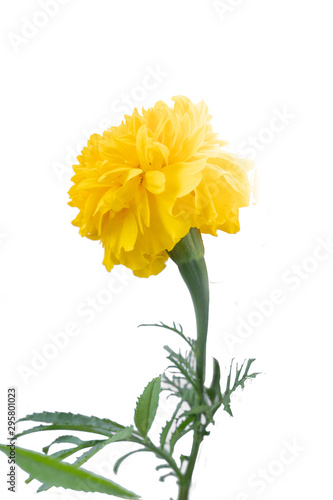 Cuadros en Lienzo  Marigold (scientific name: Tagetes erecta L