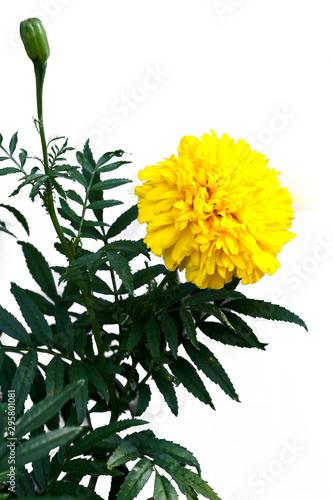 Fotomural  Marigold (scientific name: Tagetes erecta L