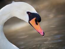 Vulgar Swan With A Drop Of Water In Its Beak