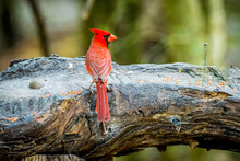 A Northern Cardinal In Laguna ...