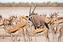 Single Oryx Between A Herd Of ...