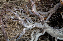 The Crooked Root Of The Tree O...