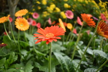 Beautiful Orange Barberton Daisy Flower With Blur Background