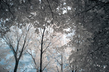 Magical Infrared Woods