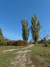 Two Poplar Trees In The Botani...