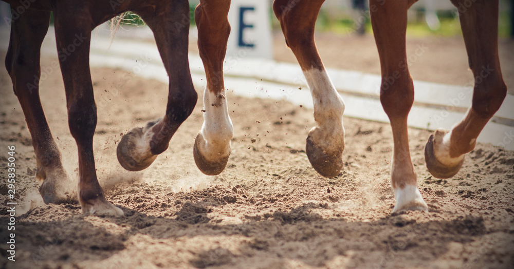 Fototapeta The legs of two horses galloping together across a sandy arena that perform in dressage competitions.
