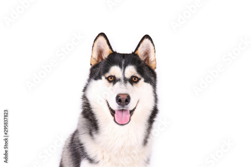 Photo Portrait of young beautiful funny husky dog sitting with its tongue out on white isolated background