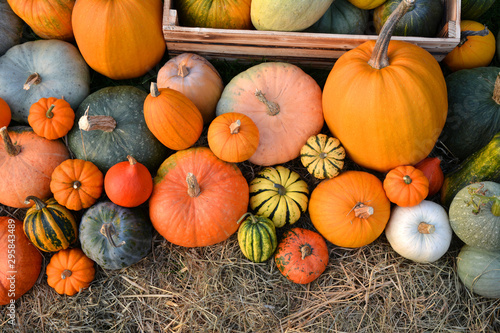 Pumpkins collection harvest - 295843489