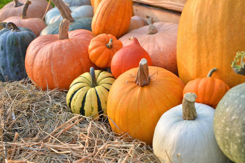 Fototapety, obrazy: Autumn pumpkins harvest on straw
