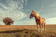 Einsame Pferd auf die Weide