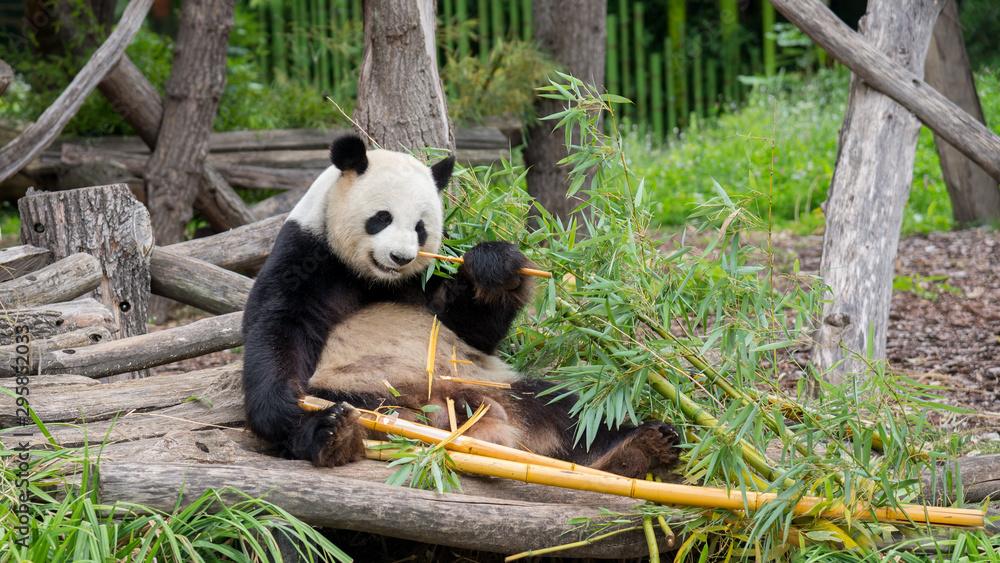 Fototapeta panda bear at the Berlin zoo