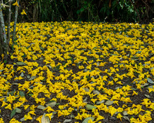 Yellow Trumpet Flowers Covering The Ground Background And Texture
