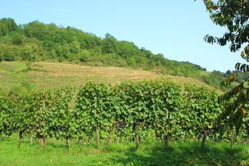Fototapeta na wymiar Irouleguy vignes