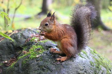 Naklejka na ściany i meble squirrels in the forest