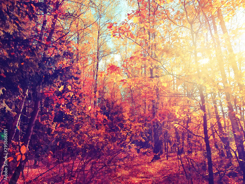 Poster Crimson autumn landscape forest with yellow red leaves with sunny light beams