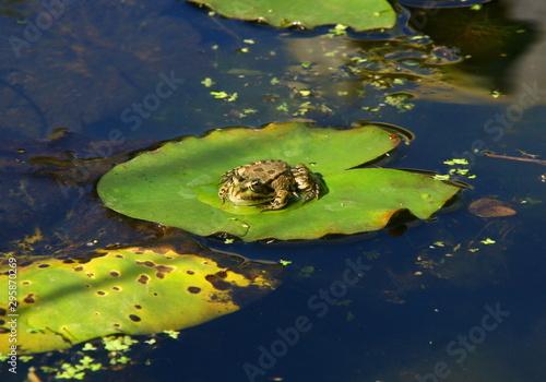 Photo grenouille dans un étang