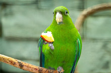 Parakeet Eating Fruit