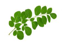 Moringa Leaf On A White Background
