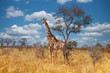 canvas print picture - Giraffe in Kruger park South Africa
