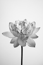 Black And White Fine Art Lotus...