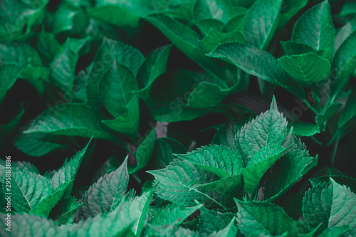 Fototapeta  Dark green foliage of a healthy plant serrated leaves, horizontal background