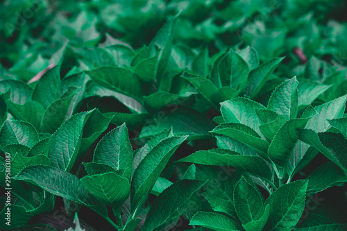 Fotografie, Obraz  Dark green foliage of a healthy plant serrated leaves, horizontal background
