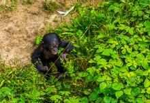 Bonobo Infant Walking Through ...