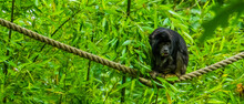 Black Howler Monkey Sitting On A Rope In Closeup, Tropical Primate Specie From America