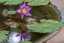 Purple Water Lily Reflection