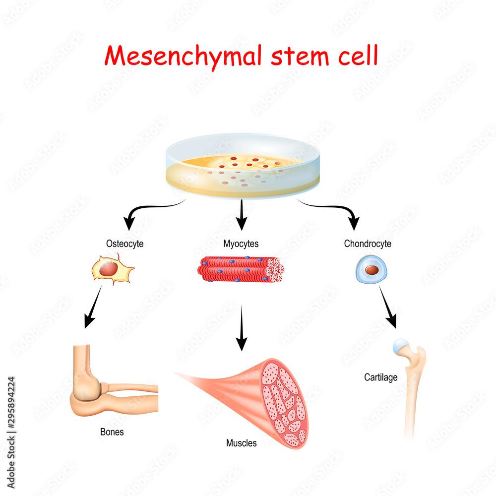 Fototapeta Mesenchymal stem cells are multipotent stromal cells