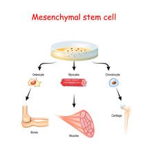 Mesenchymal Stem Cells Are Mul...
