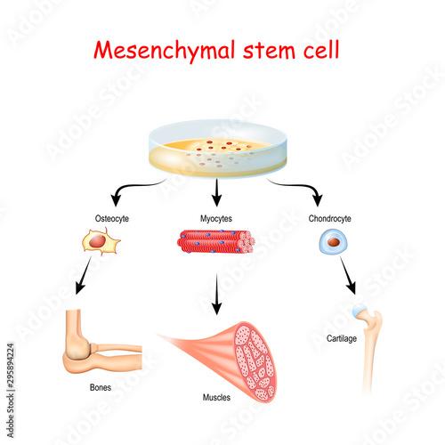 Obraz Mesenchymal stem cells are multipotent stromal cells - fototapety do salonu