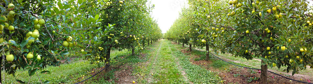 Fototapety, obrazy: ripe apples in an orchard ready for harvesting