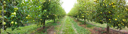 ripe apples in an orchard ready for harvesting - 295895299