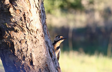 A Woodpecker Who Is About To Fly Away ...