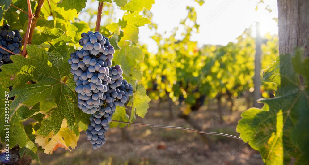Fototapety, obrazy: Vigne et raisin en France