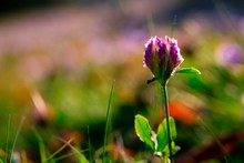 Flowering Beautiful Red Clover...